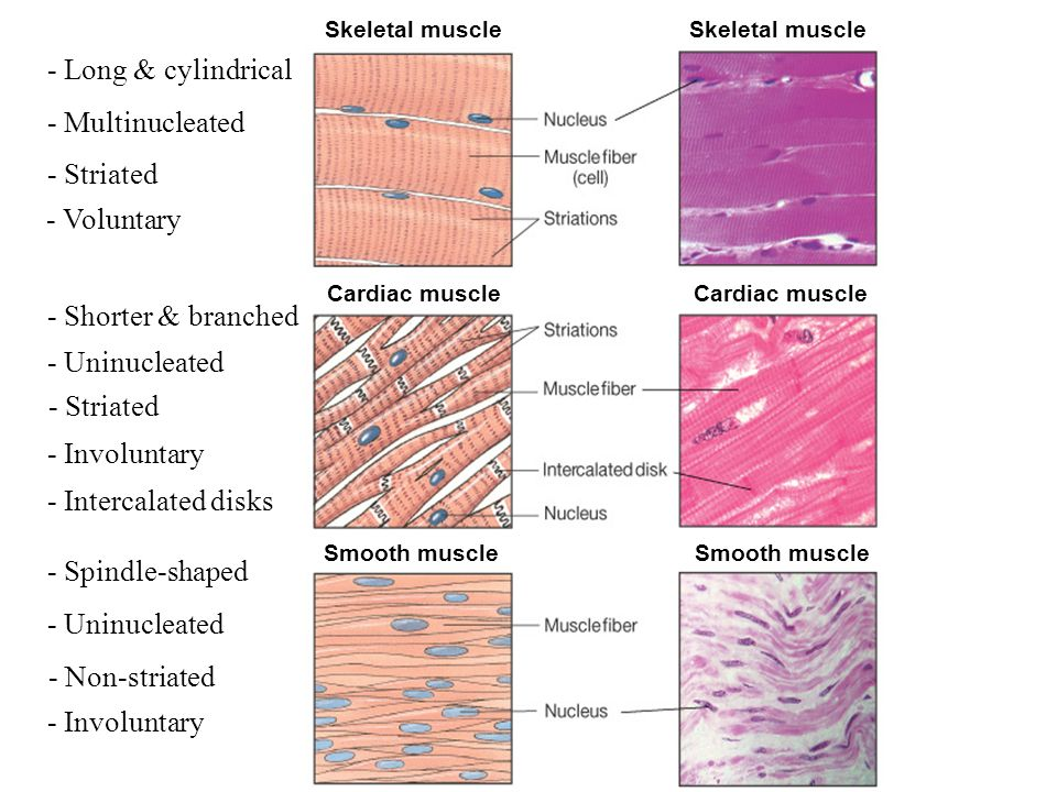 3 Types Of Muscle Tissue Properties Of Muscle Tissue Ppt Video