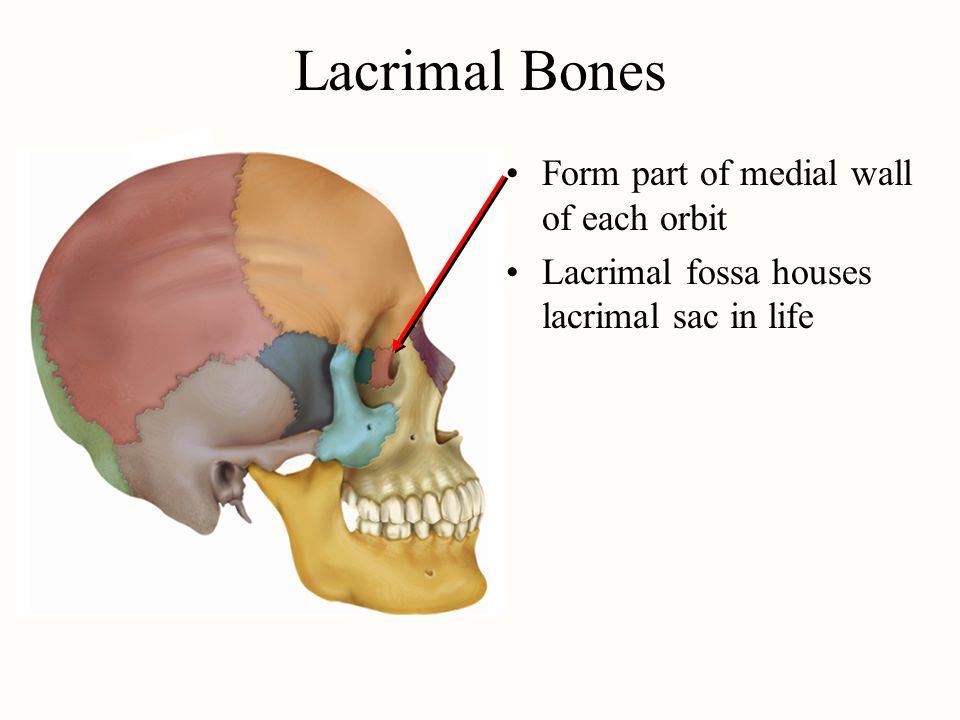 Fossa Bone Choice Image - human anatomy organs diagram