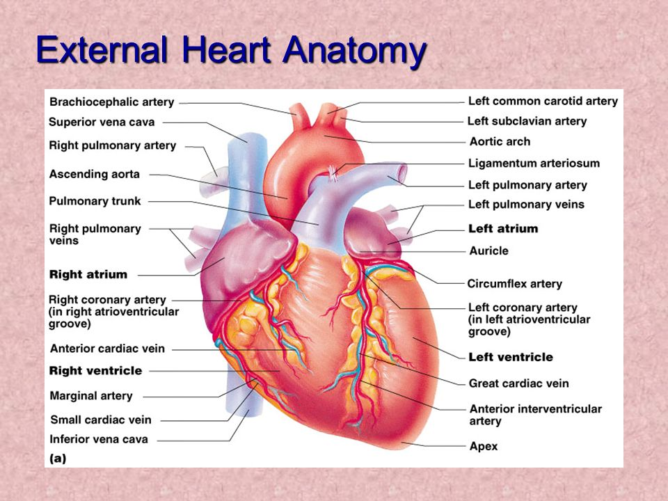Chapter 11 The Cardiovascular System Introduction The Heart Ppt
