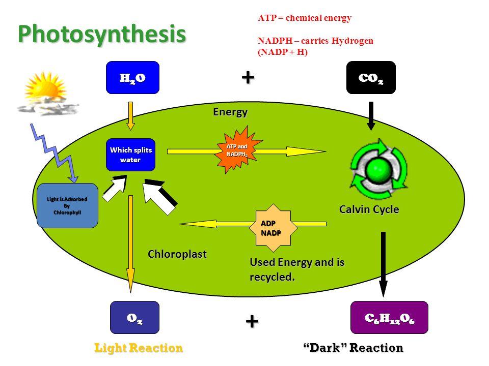 Cycle Chloroplast Diagram Find Wiring Diagram