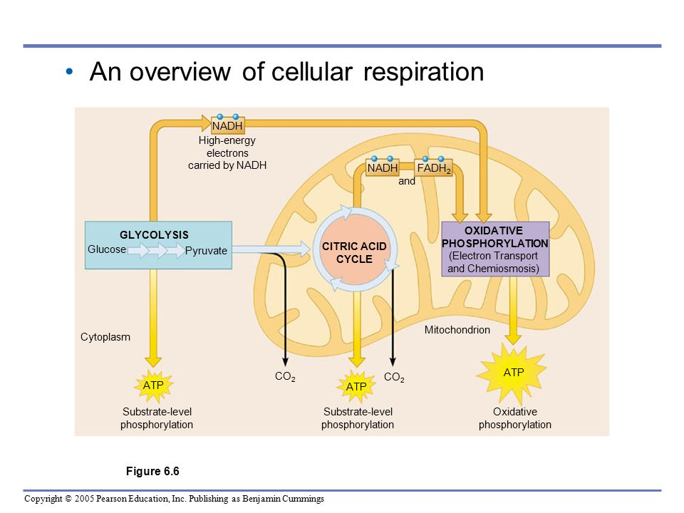 Pearson Cellular Respiration Diagram And Labels House Wiring