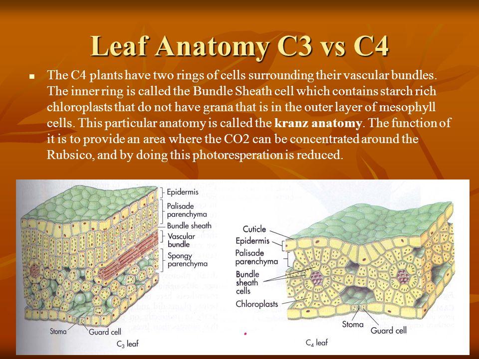 C3 Plant Anatomy Gallery - human body anatomy