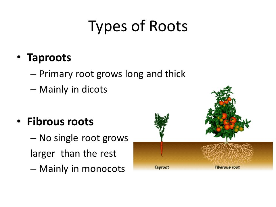Roots, Stems, and Leaves Ms  Moore 9/6/ ppt video online download