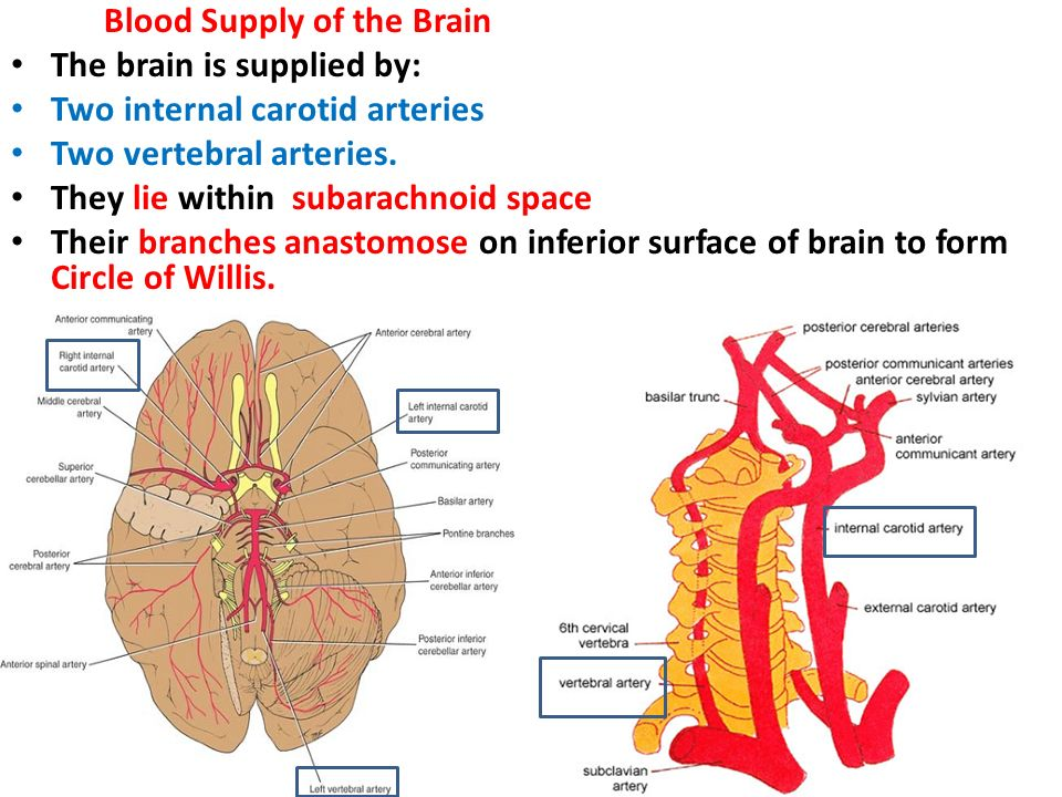 The Blood Supply of the Brain and Spinal Cord - ppt video online ...