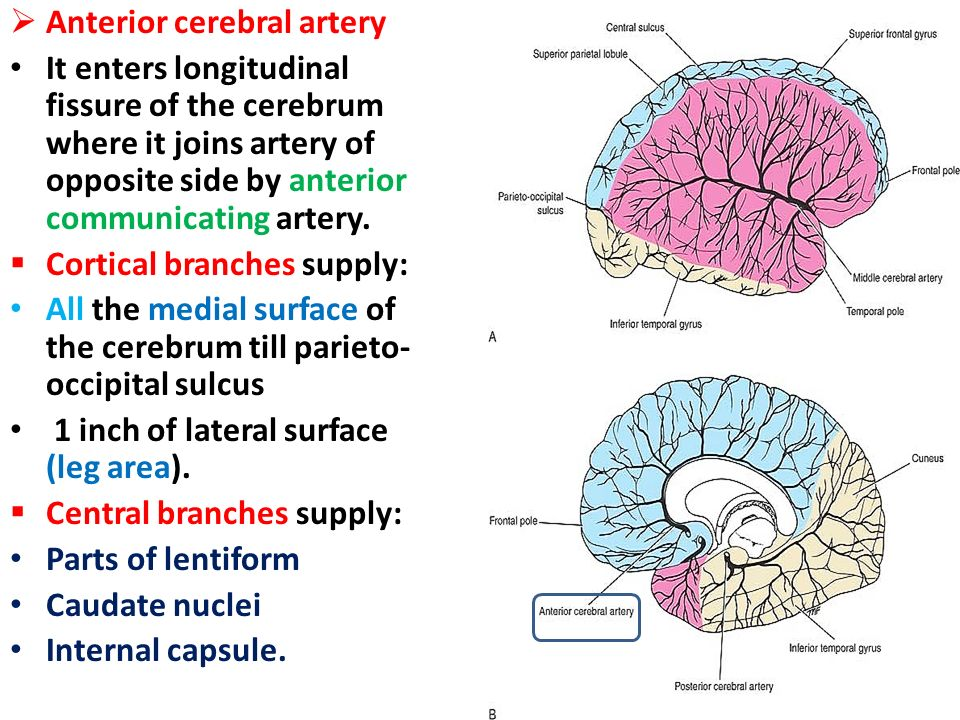 The Blood Supply Of The Brain And Spinal Cord Ppt Video Online