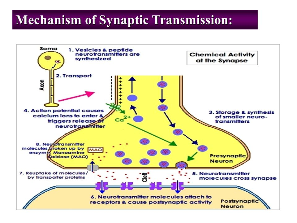 Synapses And Synaptic Transmission Ppt Video Online Download
