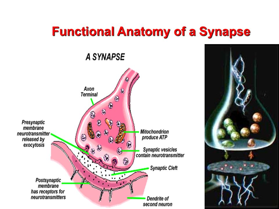 Synapses and Synaptic Transmission - ppt video online download
