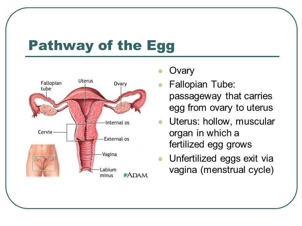Path of sperm and egg — photo 11