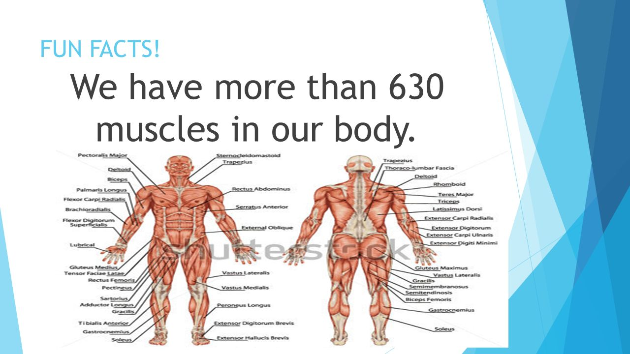 The Muscular System Section 2 Ppt Download