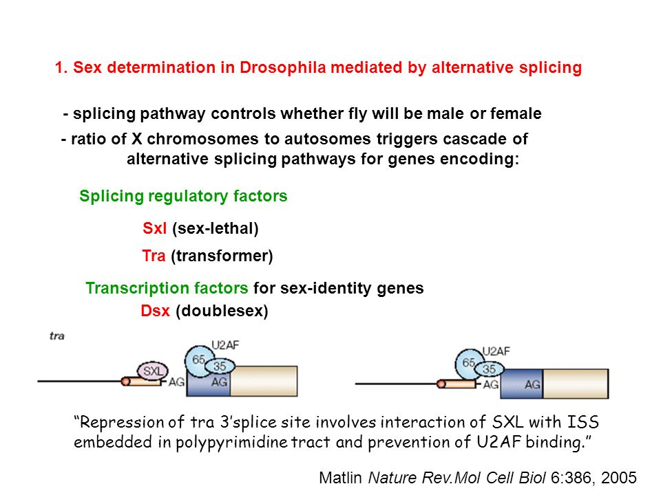 Exon splicing sex determination in drosophila