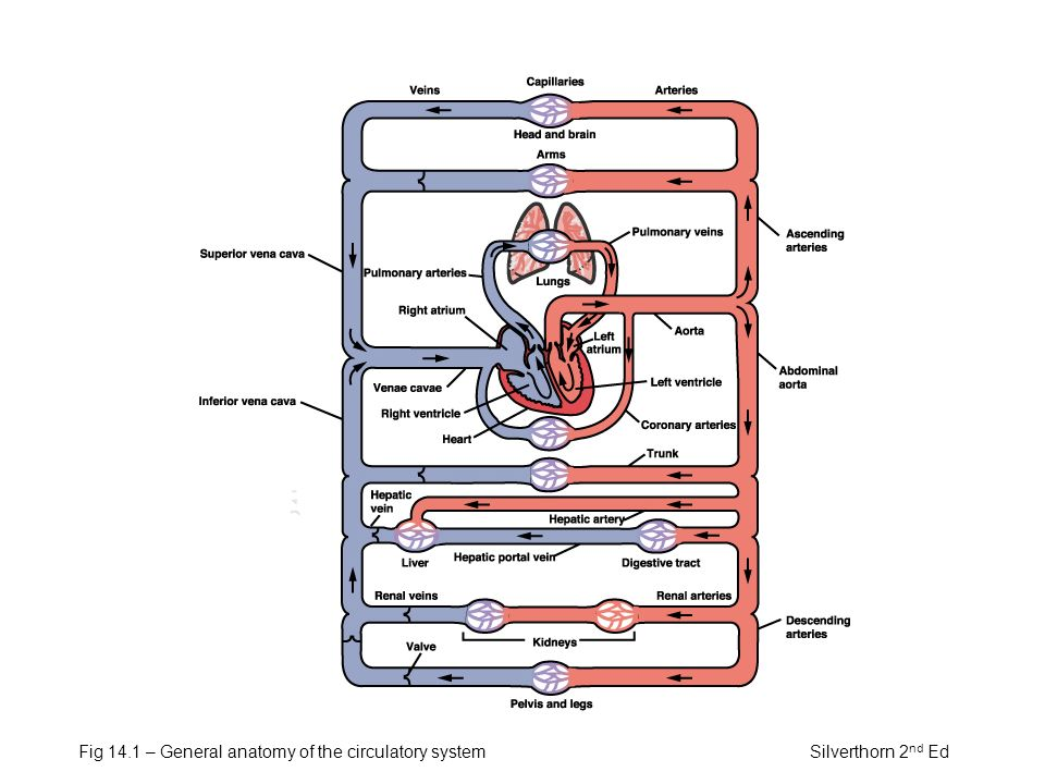 General Circulation System Anatomy Considerable Images Photos With ...