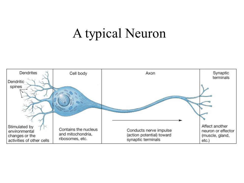 There are 2 types of cells in the nervous system 1 neurons ppt 3 a typical neuron ccuart Choice Image