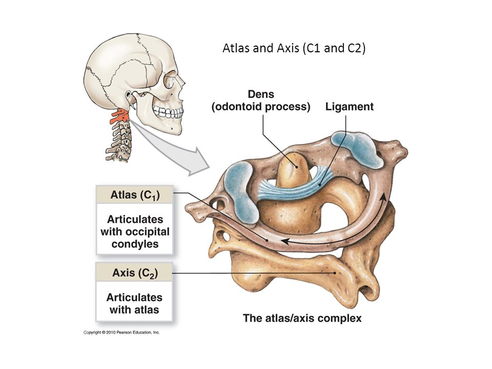 Axial Skeleton Anatomy - ppt video online download