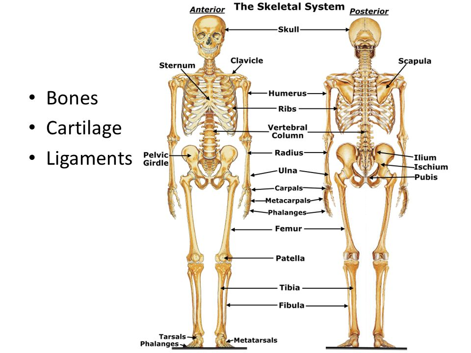 Bones And The Skeletal System Ppt Video Online Download