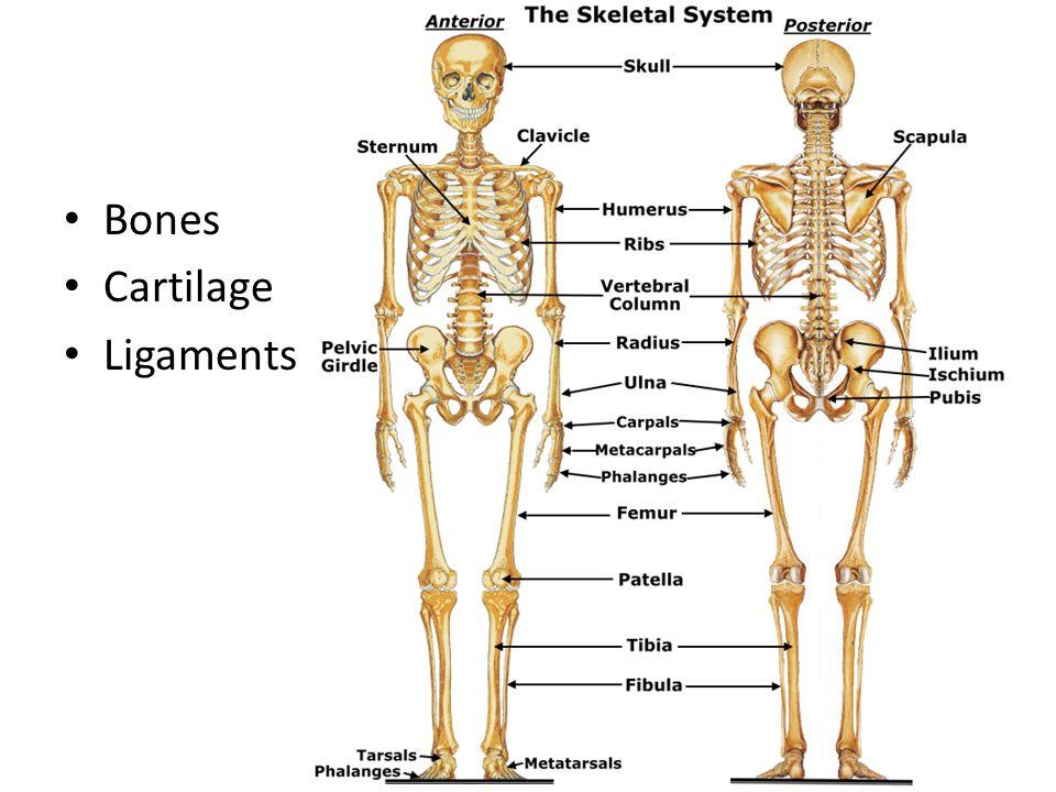 Skeletal System Bones Stream Inspiration Web Design With Skeletal ...