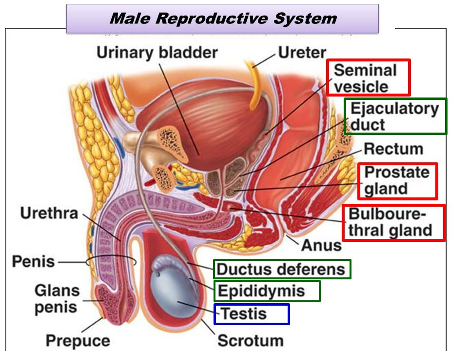 physiology of male reproductive system