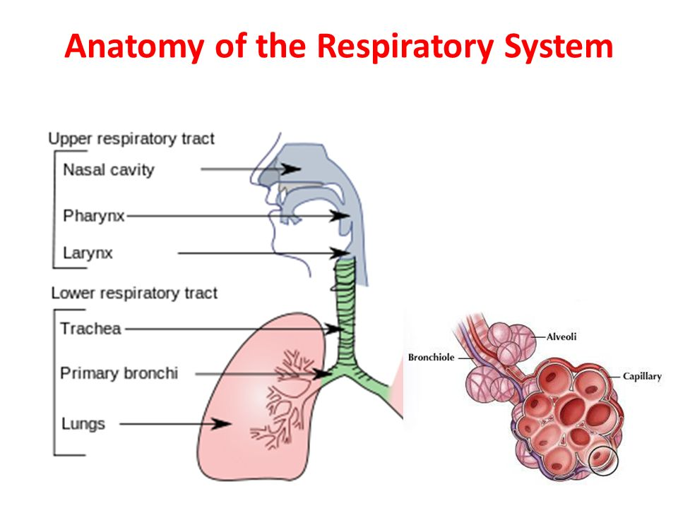 Diagram Of Lower Respiratory Tract Infection Auto Electrical