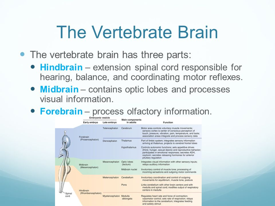 Nervous coordination chapter ppt video online download the vertebrate brain the vertebrate brain has three parts ccuart Images