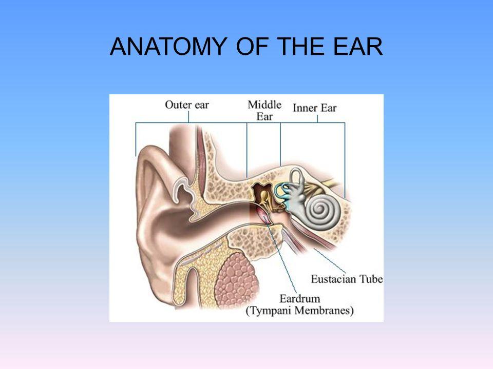 Amazing Anatomy Of Middle Ear Presentation Model - Human Anatomy ...