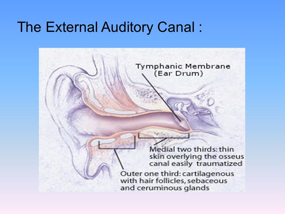 Ear I ) Anatomy and Physiology of the ear - ppt video online download