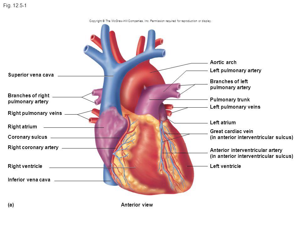In Anterior Interventricular Sulcus Coronary Sulcus Ppt Download