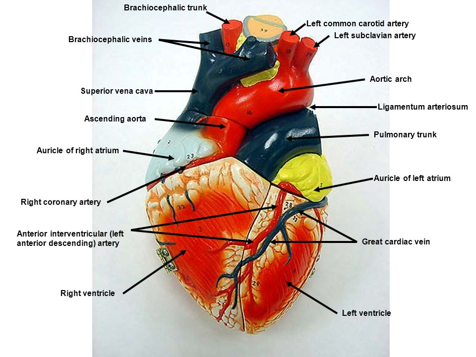 Brachiocephalic Trunk Left Common Carotid Artery Left Subclavian