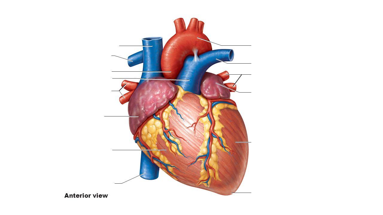 Superior Vena Cava Aorta Pulmonary Trunk Pericardium Cut Apex Of