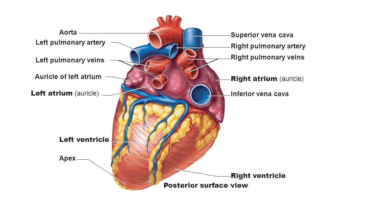 Superior vena cava Aorta Pulmonary trunk Pericardium (cut) Apex of ...