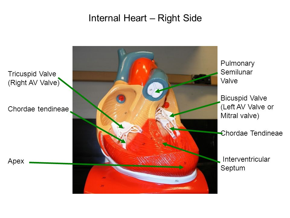 Heart Models Page 10 Of Packet Ppt Video Online Download