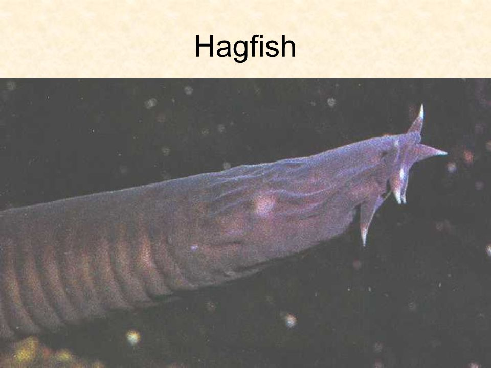 hagfish Hagfish: hagfish, any of about 70 species of marine vertebrates placed with the lampreys in the superclass agnatha although most classifications place all hagfishes in the family myxinidae, they are sometimes divided into two families: myxinidae, represented in every ocean, and eptatretidae, represented.