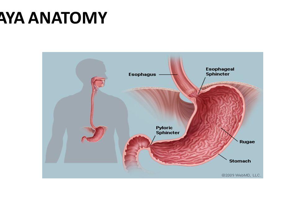 1 Amashaya Anatomy Ppt Download