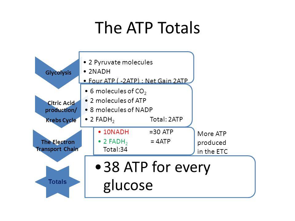 net atp produced in krebs cycle