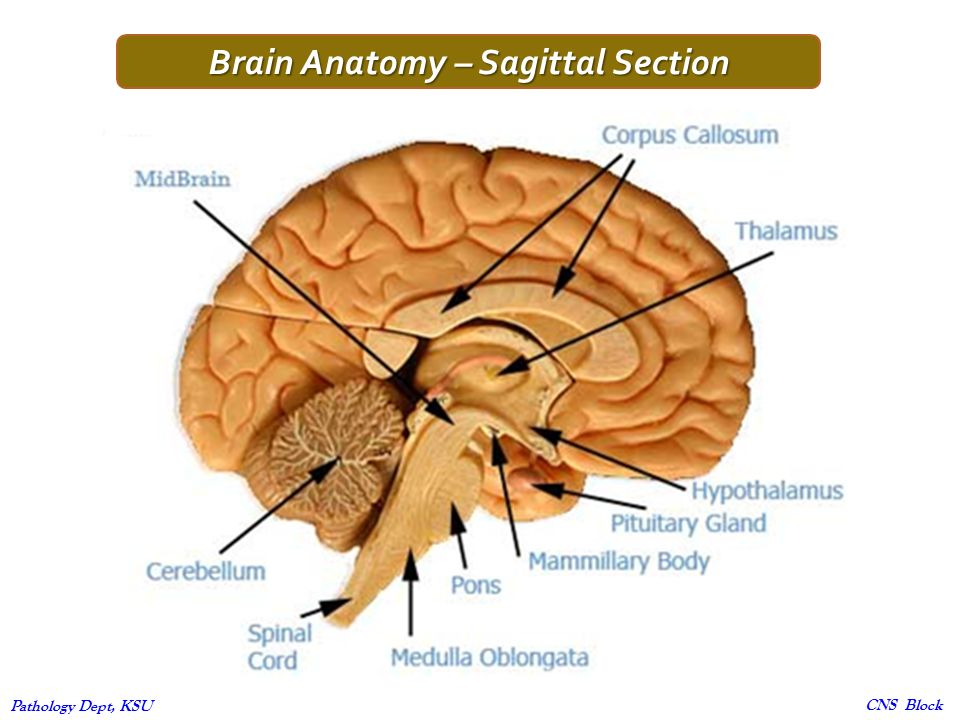 Modern Anatomy Of Cns Pattern - Anatomy And Physiology Biology ...
