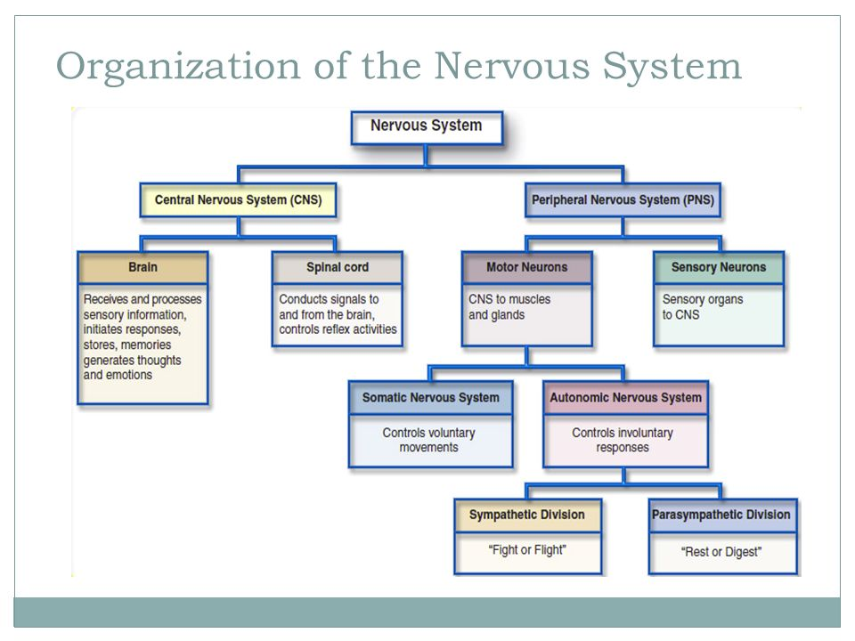 Fundamentals of the nervous system ppt video online download fundamentals of the nervous system ccuart Image collections