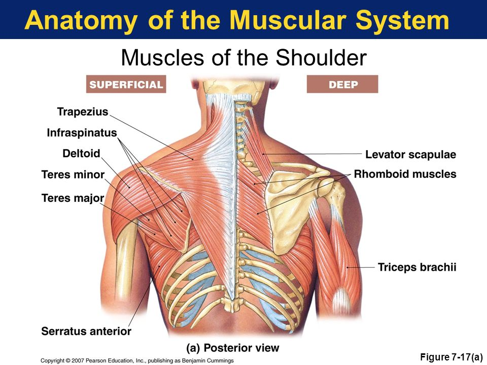 Muscular System Anatomy Choice Image - human body anatomy