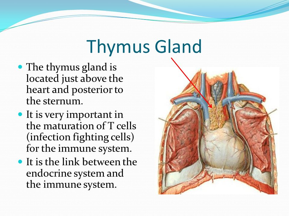 Important Glands Of The Endocrine System Ppt Video Online Download