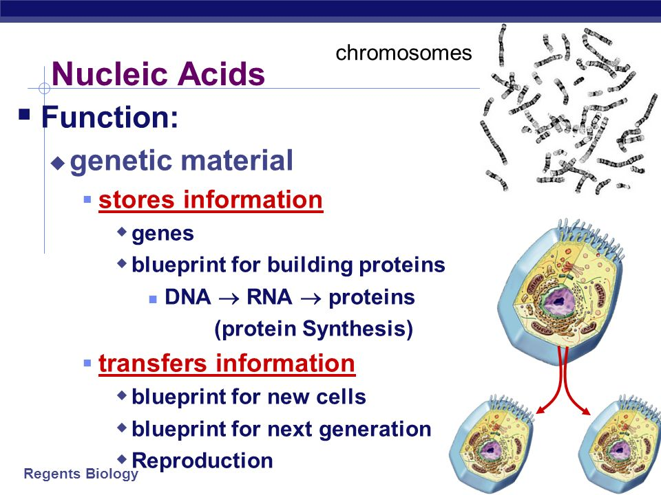 proteins and nucleic acids Nucleic acids are molecules that allow organisms to transfer genetic information from one generation to the next these macromolecules store the genetic information that determines traits and makes protein synthesis possible.