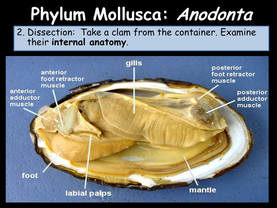 LABORATORIO Phylum Mollusca - ppt video online download