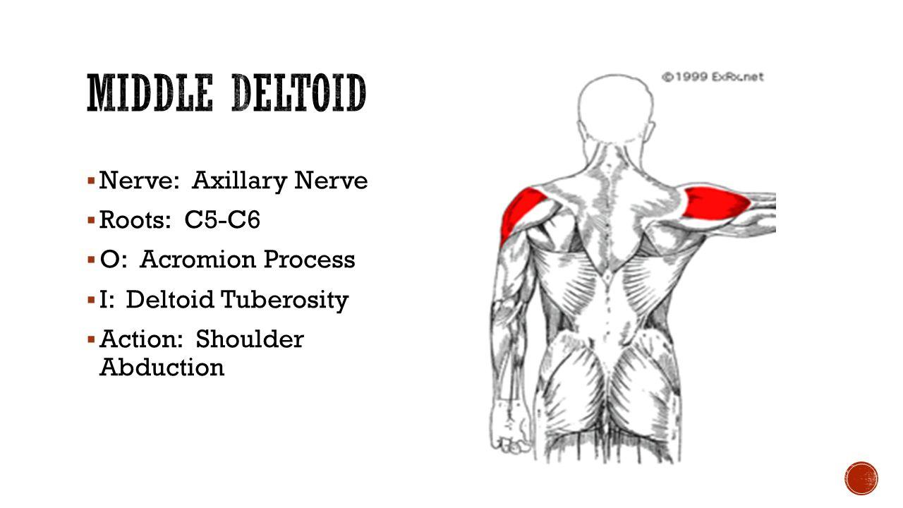 Mid Deltoid Shoulder Muscle Function Topsimages