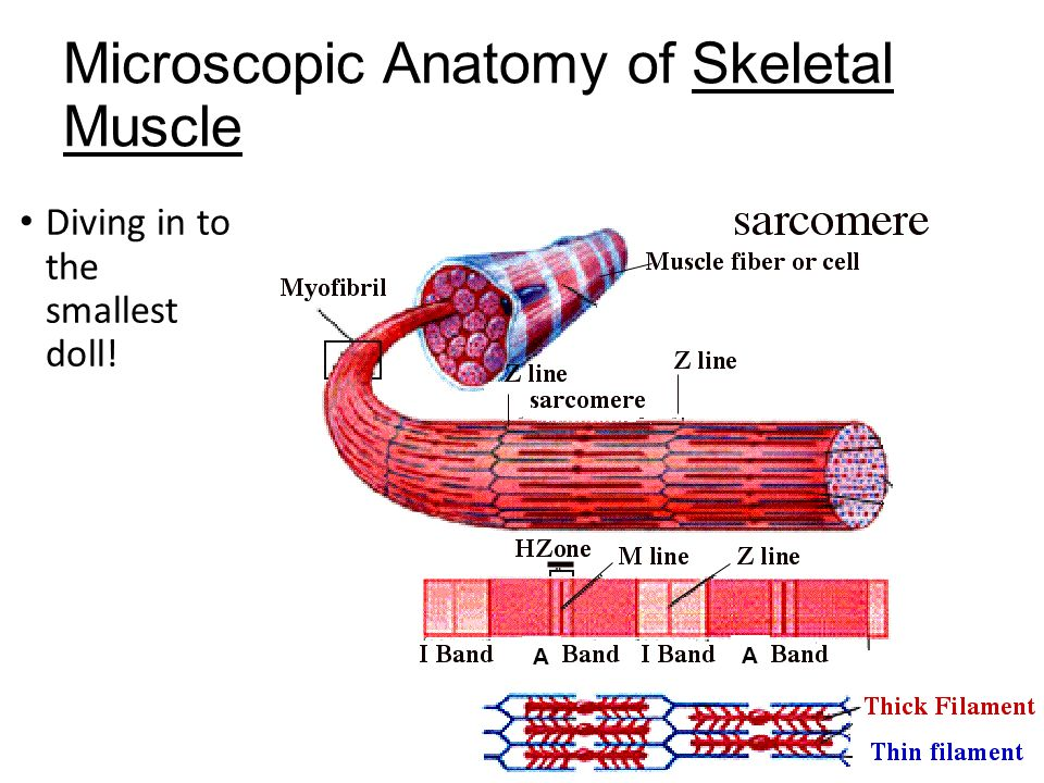 Funky Microscopic Anatomy Of A Skeletal Muscle Elaboration Human