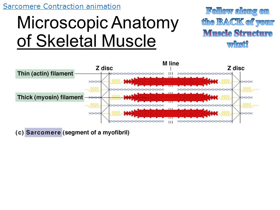 So How Do Skeletal Muscles KNOW how to or when to contract? - ppt ...