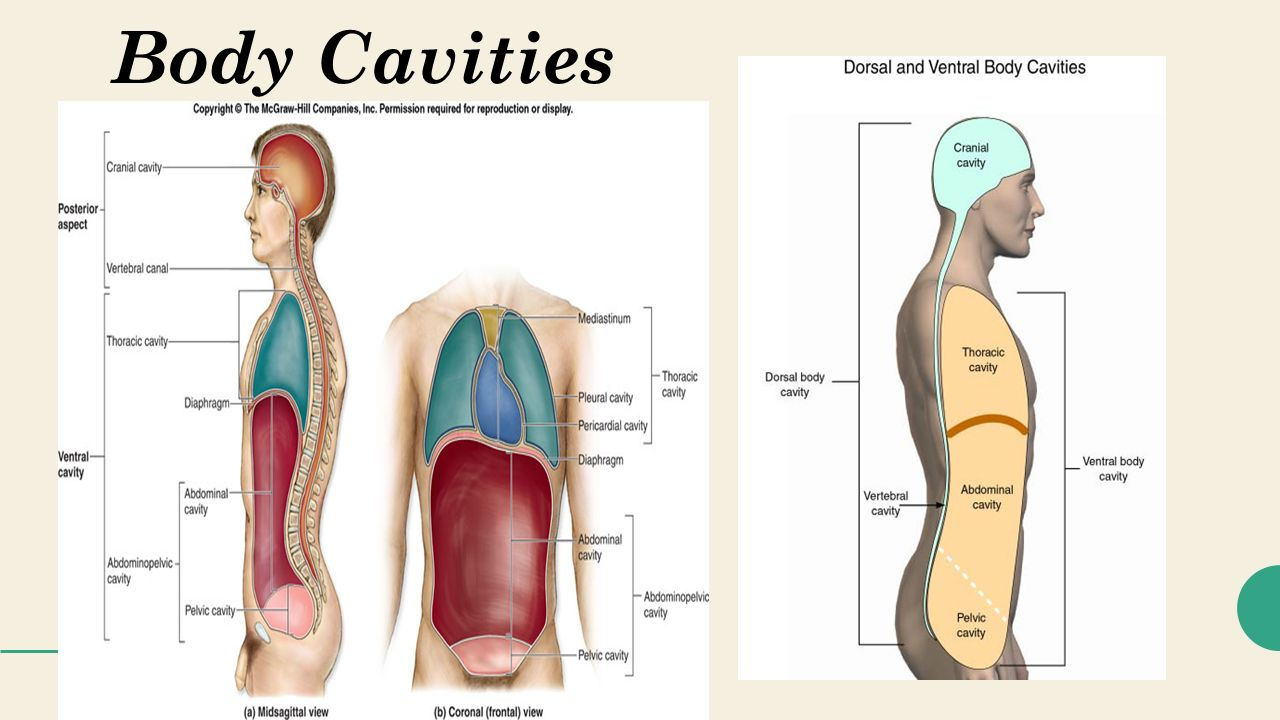 Magnificent Anatomy Body Cavities Motif - Human Anatomy Images ...