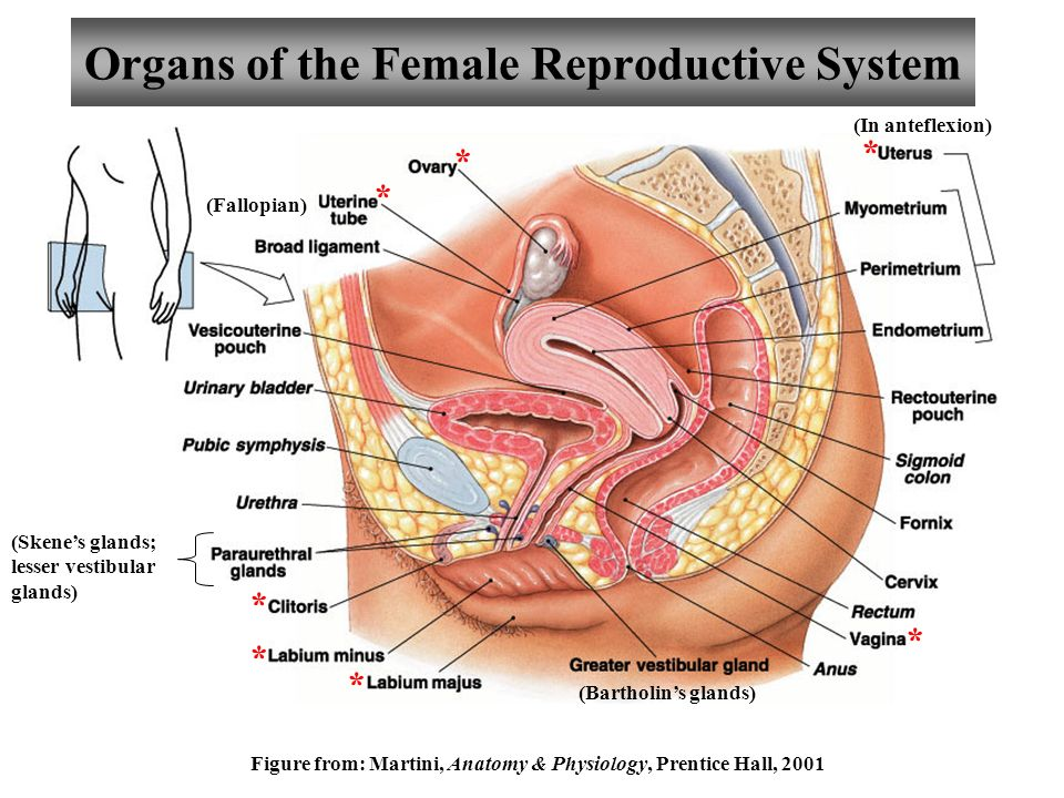 Cat dissection ii respiratory urinaryreproductive systems ppt organs of the female reproductive system ccuart Gallery
