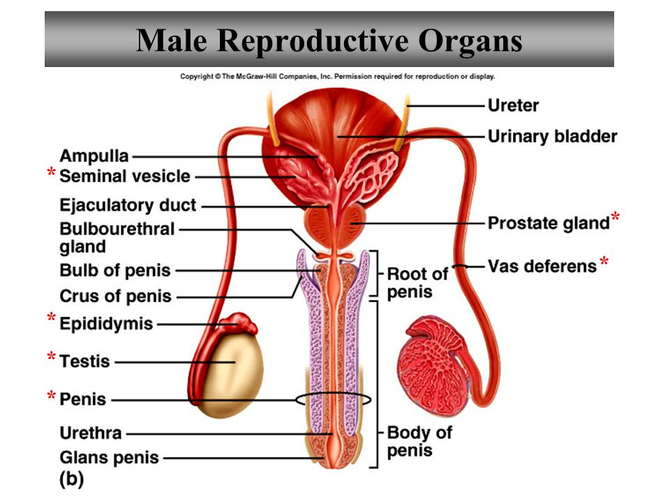 Diagram Of A Male Cat Reproductive System - Online Schematic Diagram •