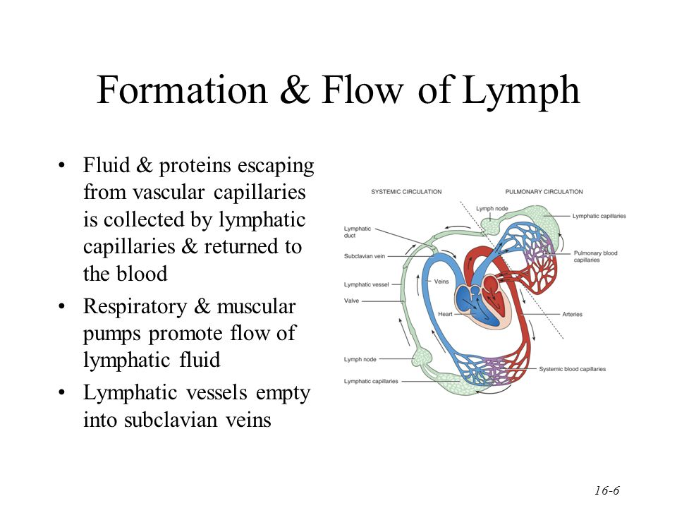 Chapter 16 Lymphatic System Ppt Video Online Download