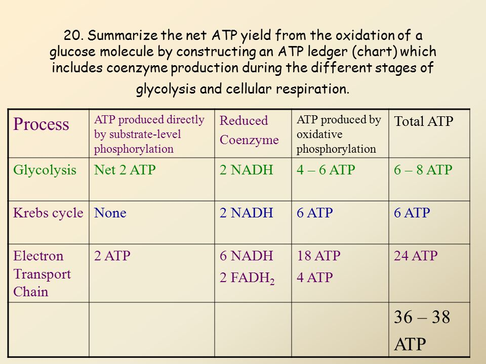 38 atp produced in cellular respiration