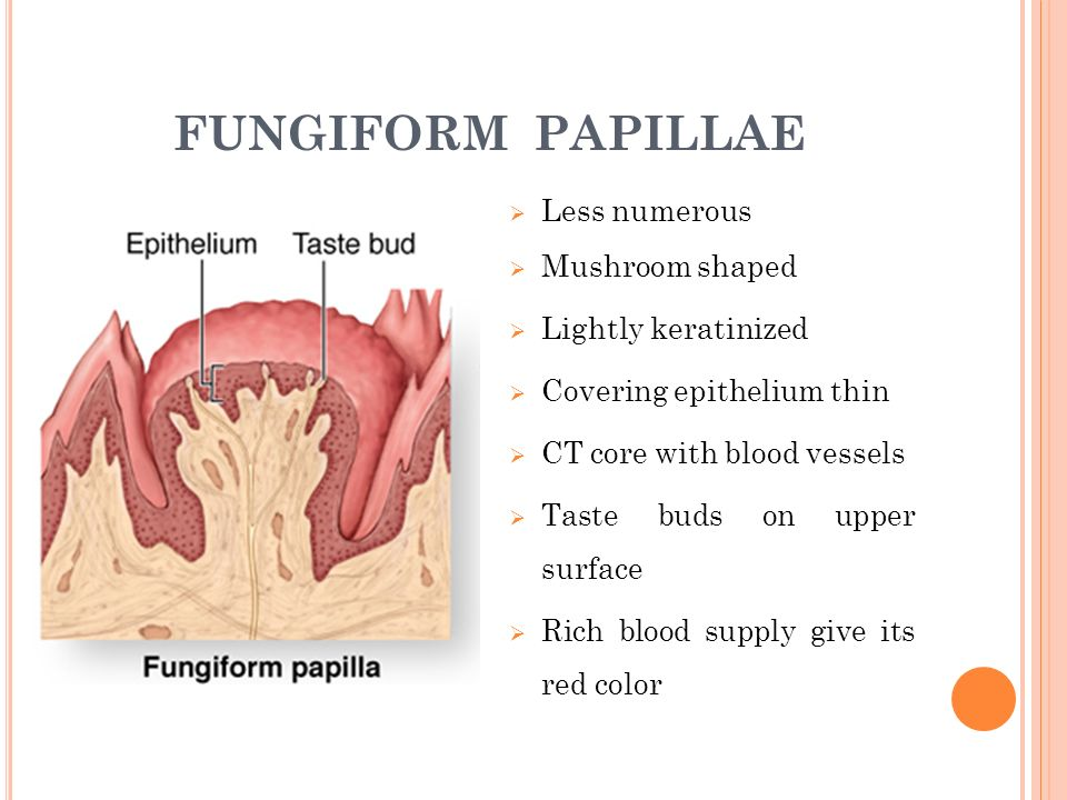 Unique Fungiform Papillae Image - Anatomy Ideas - yunoki.info