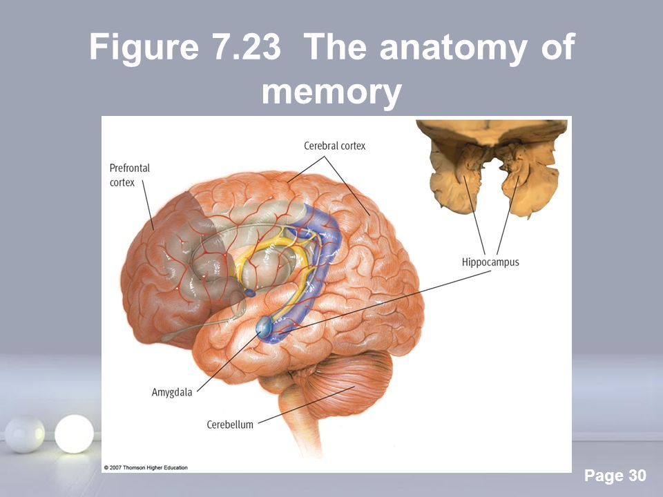 The Anatomy Of Memory Images Human Anatomy Organs Diagram