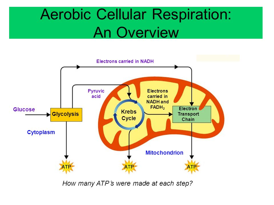 Cellular Respiration Chapter Ppt Video Online Download