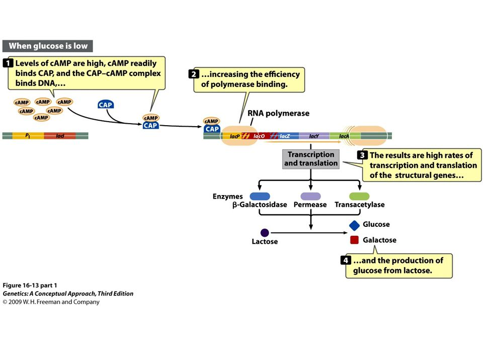 55ac69c548d Figure (part 1) The catabolite activator protein (CAP) binds to the promoter